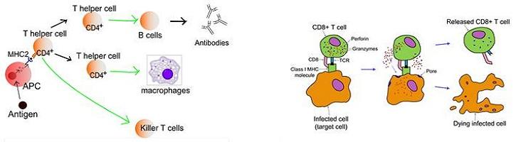Perbedaan-Antigen-Eksogen-dan-Endogen