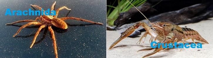 Perbedaan-Arachnida-dan-Crustacea