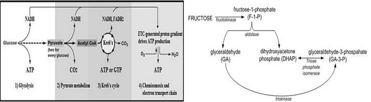 Perbedaan-Metabolisme-Glukosa-dan-Fruktosa