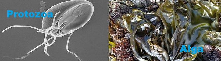 Perbedaan-Protozoa-dan-Alga