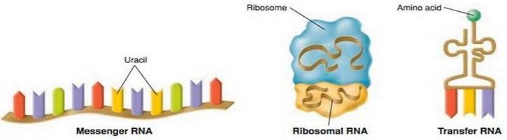Perbedaan mRNA tRNA dan rRNA