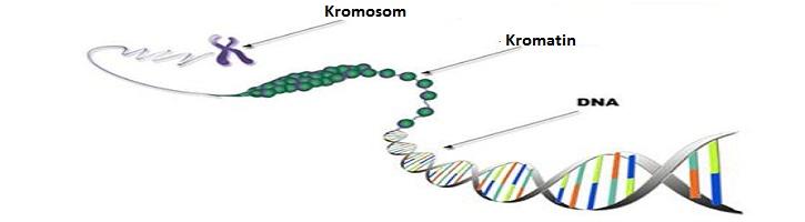 Perbedaan Kromatin dan Kromosom