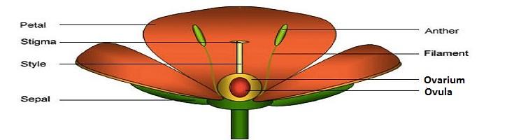 Perbedaan Ovarium dan Ovula