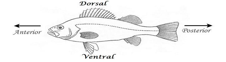 Perbedaan Dorsal dan Ventral